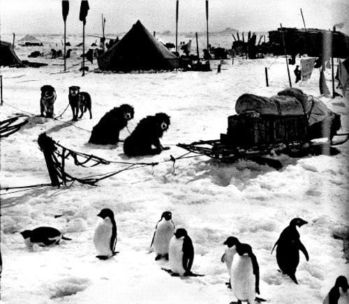 A composite picture by Frank Hurley, demonstrating penguins wandering into camp.