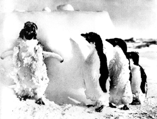 Moulting Adelie Penguins by Frank Hurley (1911-13)