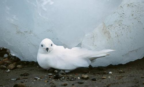 Snow Petrel by Roberto Pujana